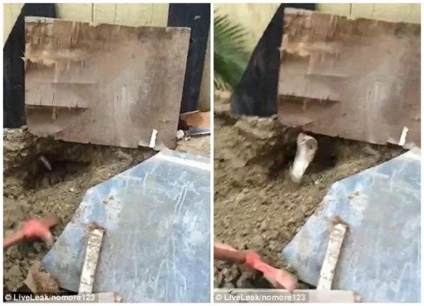 Giant cobra LEAPS out of hole and attacks brave man who captures it (photos, video)