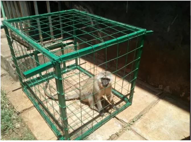 Murang'a County to use live bullets against monkeys terrorising women and girls