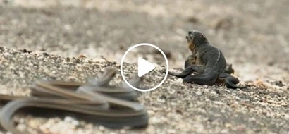 Hala nakakatakot naman! Baby lizard miraculously escapes death from a killer horde of snakes
