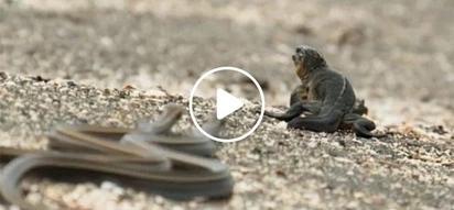 Hala nakakatakot naman! Baby lizard miraculously escapes death from a killer horde of snakes