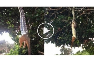 Netizens caught giant python swallowing a possum whole