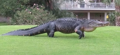 3.6 meter gator shocks neighborhood after it emerges from pond, swaggers onto grass in broad daylight (photos)