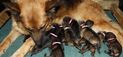 WATCH: Mom dog gives birth to puppies; what dad dog does next will make you cry