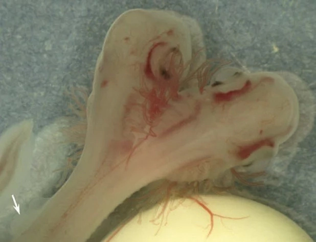 WTF: More 2-Headed Sharks Found!