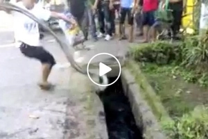 This heart-pounding captivity of enormous snake found in drainage will give you a mini heart attack