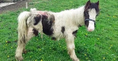 Los gusanos se estaban comiendo a este pony abandonado