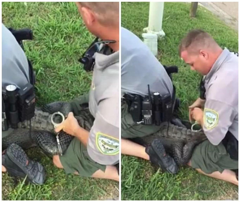 The bizarre moment animal control agents handcuff the crocodile