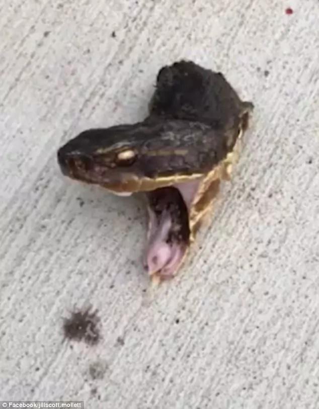 The snake's head bared its fangs. Photo: Facebook: Jill-Scott Mollet