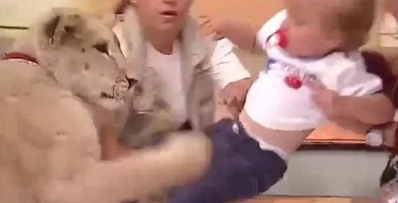 León ataca a bebé en televisión mexicana, impresionante video