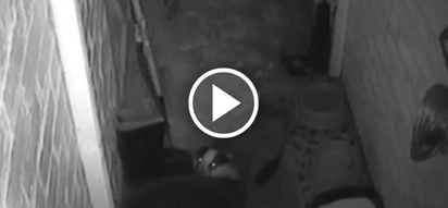 This family caught cheeky badger stealing their cats' food on camera. See what they did to him