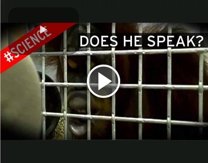 ¡Científicos descubren que este increíble orangután puede hablar!