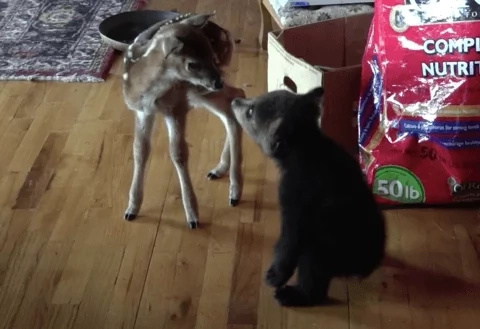 Warning: This video of a bear cub and a baby deer is too cute!