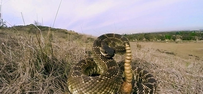 LOOK! Groom bitten by a rattlesnake in the middle of wedding photoshoot