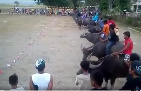 Video of Carabao race went viral