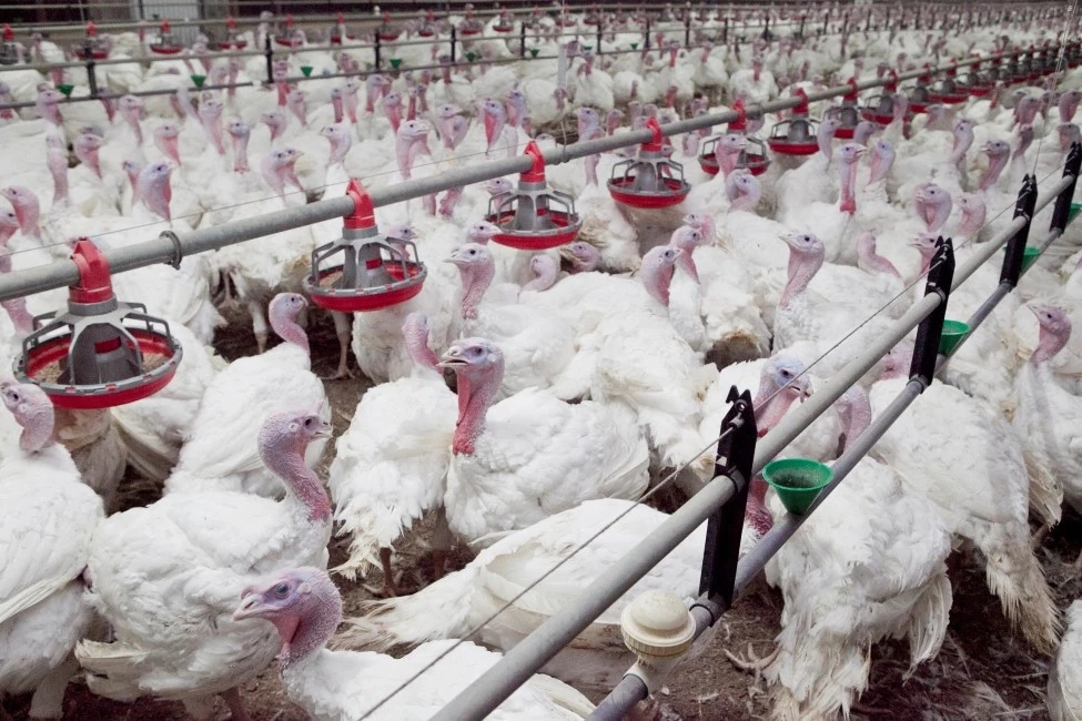 How to Start Turkey Farm in Nigeria