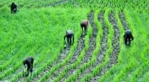 Steps to Start Local Rice Production in Nigeria