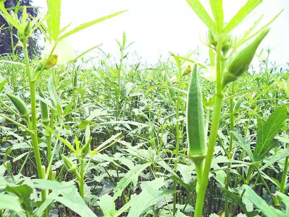 Steps To Start Okra Farming Business In Nigeria