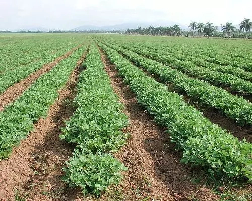 Groundnut Farming Techniques for Beginners