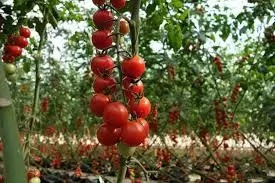 How Profitable is Tomatoes Farming in Nigeria