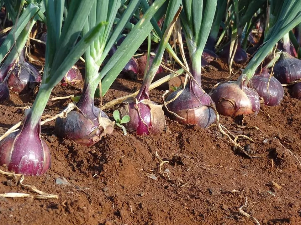Step to Step Guide on How to Start Onion Farming