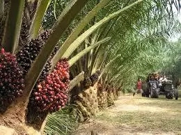 Steps to Start Palm Kernel Farm in Nigeria
