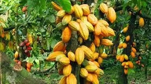 How to Farm Cocoa in Nigeria (do not publish)