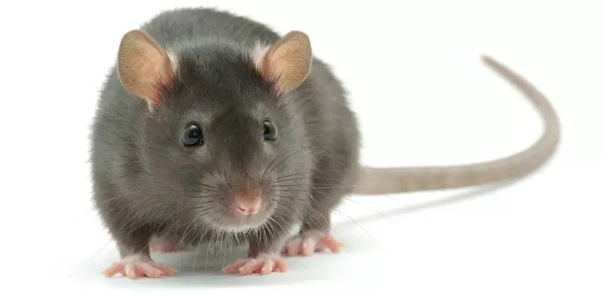 How to Get Rid of Rats in Nigeria