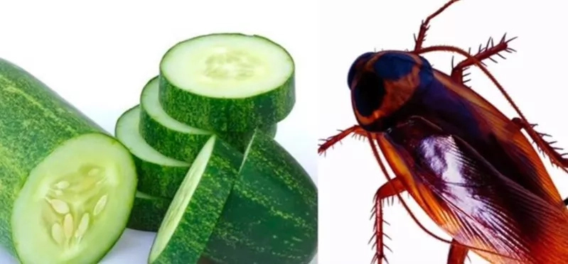 Keep Away Cockroaches Forever From Your Home Using Just a Cucumber