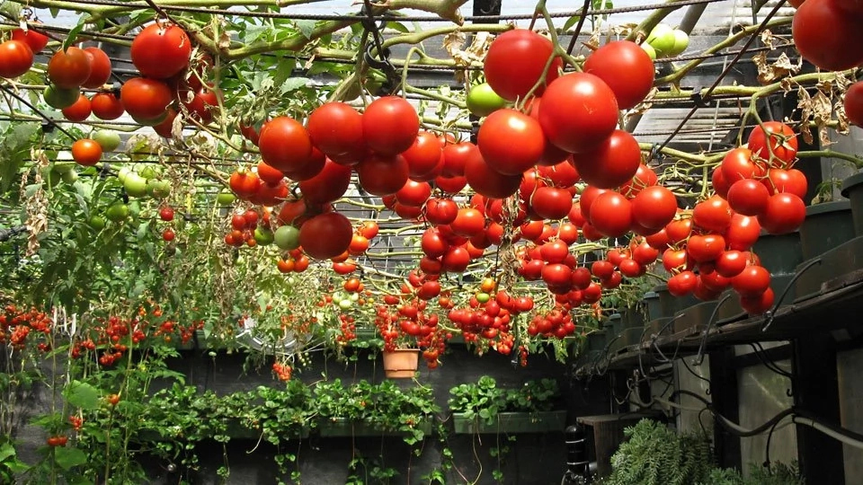 Tomatoes Cultivation and Its Potential in Nigeria