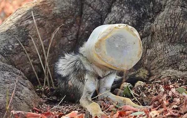 Басын баклашкадан шығара алмай қалған қасқырға адамлар жәрдем берди (Фото)