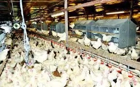 Poultry Farming In Nigeria; 10 Tips To Make Money from It
