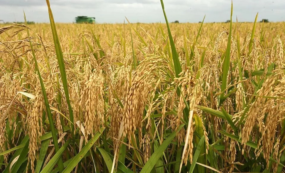 Step To Step Guide To Start Rice Farming