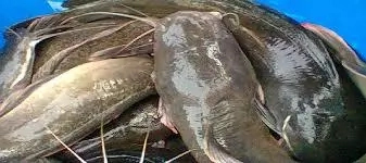 Catfish farming In Nigeria; 10 Tips To Make Money from It
