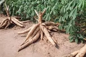 Problems and Prospects of Cassava Production in Nigeria