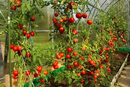 Modern Tomato Farming Techniques