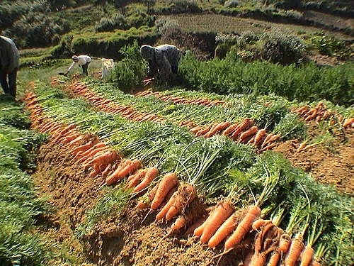 Steps To Start Carrot Farming Business In Nigeria