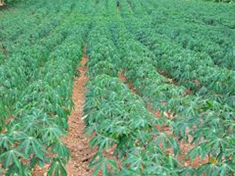 cassava farming business plan in nigeria online
