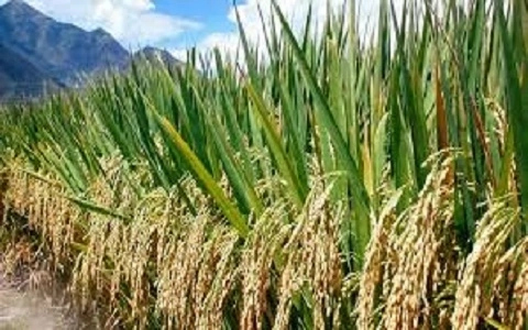 Rice Production in Nigeria 2018/2019 (do not publish)