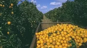 Problems and Prospect of Commercial Orange Farming in Nigeria