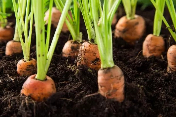 Step To Step Guide To Start Carrot Farming