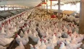How To Start Poultry Farming In Nigeria