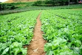 Steps To Start Garden Egg Farming Business In Nigeria And Tips To Succeed